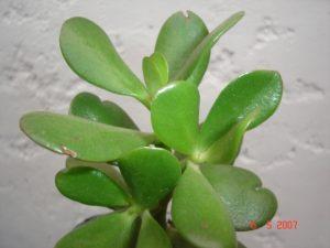Congona planta