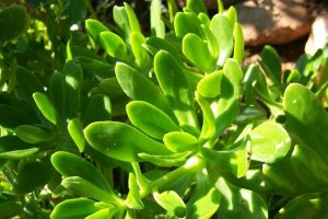 Piperonia refleta
