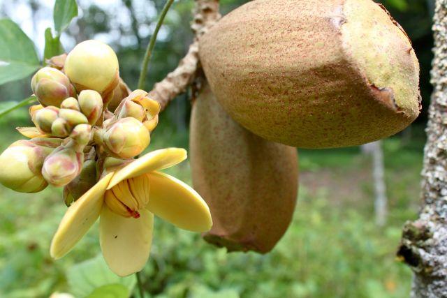 Sacha mangua