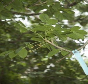 Usos medicinales del Cuajiote