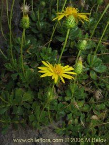 Bailahuen como planta medicinal