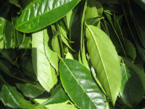 Hierba medicinal guasuya