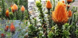 Huamanpinta planta