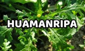 Huamanripa