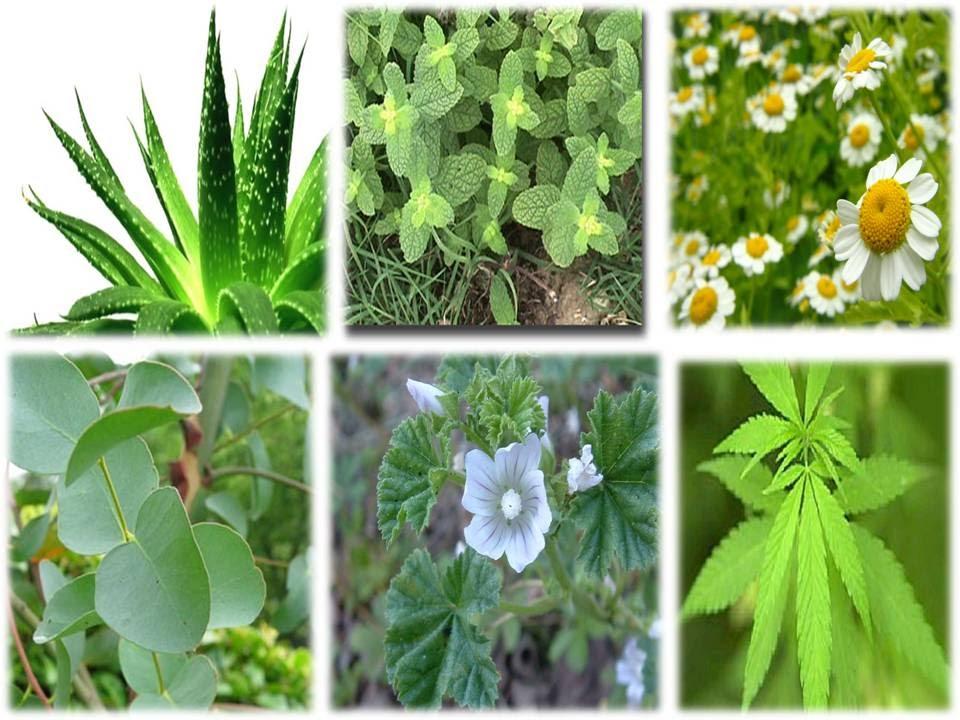 Plantas medicinales chilenas