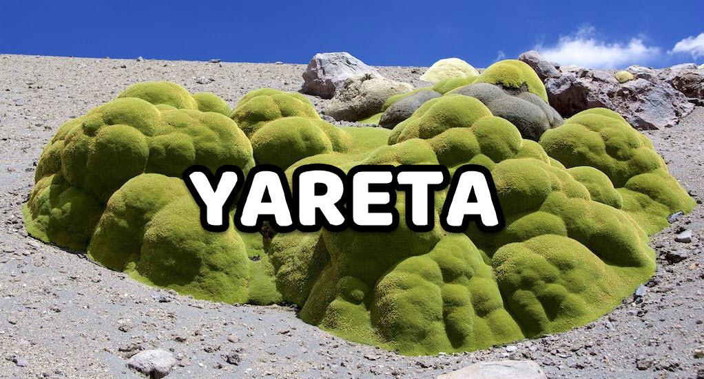 yareta
