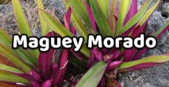 Maguey Morado